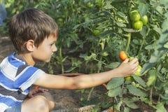 采摘新鲜的蕃茄菜的愉快的小孩男孩自温室夏日 家庭,庭院,从事园艺,生活方式 免版税库存图片