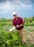 采摘有机夏南瓜的农夫 免版税库存图片
