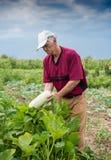 采摘有机夏南瓜的农夫 图库摄影