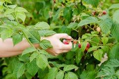 采摘有机莓的年轻妇女手 免版税图库摄影