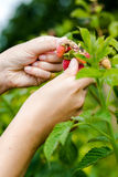采摘有机莓的年轻妇女手 免版税库存图片