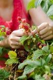 采摘有机莓的年轻妇女手 免版税库存照片