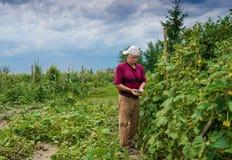 采摘有机黄瓜的农夫 图库摄影