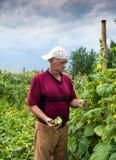 采摘有机黄瓜的农夫 免版税图库摄影