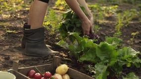 采摘甜菜和折叠在有机农场的领域的一个木箱的农夫日落光的 股票录像