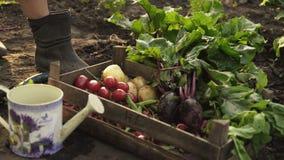 采摘甜菜和折叠在有机农场的领域的一个木箱的农夫日落光的 股票视频
