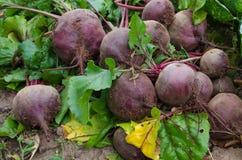 采摘甜菜在秋天的庭院里外面 库存图片