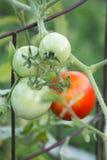 采摘的蕃茄 库存照片
