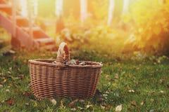 采摘秋叶到篮子里 季节性庭院工作 免版税库存图片
