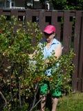 采摘红色当前莓果的妇女 免版税库存照片