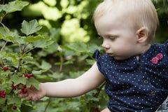 采摘红醋栗莓果 库存图片