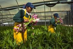 采摘花的未认出的妇女自一间专业温室 免版税库存图片