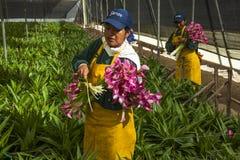 采摘花的未认出的妇女自一间专业温室 库存图片