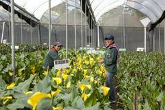 采摘花的未认出的妇女自一间专业温室 免版税图库摄影