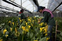 采摘花的未认出的妇女自一间专业温室c 图库摄影
