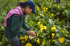 采摘花的未认出的妇女自一间专业温室c 免版税库存图片