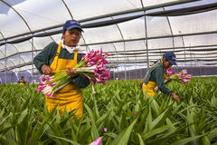 采摘花的未认出的妇女自一间专业温室c 免版税图库摄影