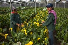 采摘花的未认出的妇女自一间专业温室c 免版税库存照片