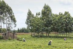 采摘茉莉花的人们在一个茉莉花种植园在横县,茉莉花的中国首都开花 库存照片
