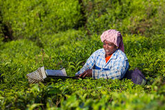 采摘茶叶的妇女在茶园在Munnar,喀拉拉附近 图库摄影