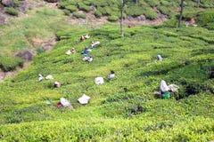 采摘茶叶的工作者在茶园 免版税图库摄影