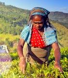 采摘茶叶的斯里兰卡的妇女收获概念 免版税库存照片