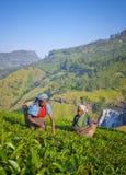 采摘茶叶的斯里兰卡的妇女 免版税库存图片