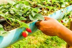 采摘草莓在农场 库存照片
