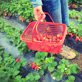 采摘草莓在庭院里 库存图片