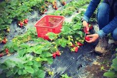 采摘草莓在庭院里 库存照片