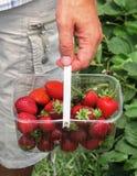 采摘草莓夏天的新鲜水果 免版税库存照片