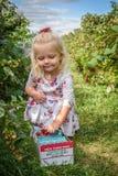 采摘莓果在秋天 图库摄影