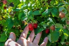采摘莓的成熟莓果手 库存图片