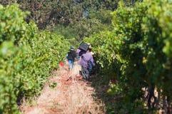 采摘葡萄,斯泰伦博斯,南非 免版税库存照片