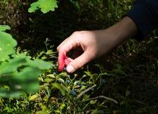 采摘蓝莓 免版税库存照片