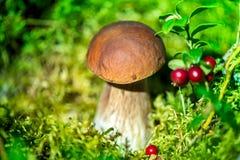 采摘蘑菇和蔓越桔在森林里在早期的秋天 库存照片