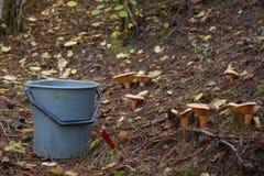 采摘蘑菇在森林里 免版税库存图片