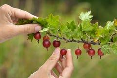 采摘鹅莓的成熟莓果手 免版税库存照片