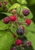 采摘黑莓的现有量在与篮子的主要收获季节期间有很多黑莓 黑莓成熟未成熟 库存图片