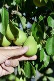 采摘从树的年轻人一个梨 免版税库存照片
