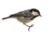 采煤查出的栖息的山雀 免版税库存照片