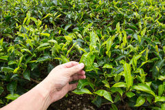采茶叶在喀麦隆高地茶园 图库摄影
