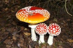 采蘑菇伞形毒蕈自然 免版税库存照片
