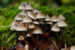 采蘑菇在对待偏头痛的潜在的用途? 库存照片
