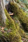 采蘑菇在树的地衣,用青苔盖 库存图片