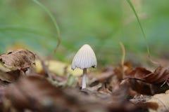 采蘑菇在草背景的秋叶  免版税图库摄影