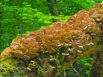 采蘑菇木头 免版税库存照片