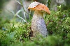 采蘑菇橙色盖帽牛肝菌蕈类在森林焦点concep的夏天增长 免版税图库摄影