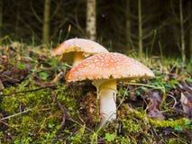 采蘑菇毒 免版税图库摄影