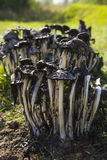 采蘑菇毒 免版税库存图片